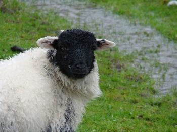 02 - Zelfs de schapen zijn doorweekt